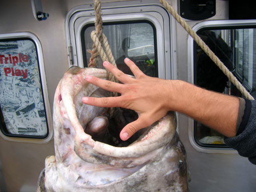 The mouth of this halibut is bigger than a grown man's hand!