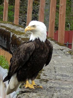 Bald Eagle in Sitka, AK