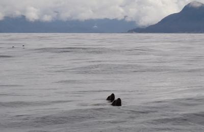 Seal Nose in Sitka, AK